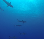 mostly black-tip reef sharks, curious but otherwise relatively harmless to divers nearby